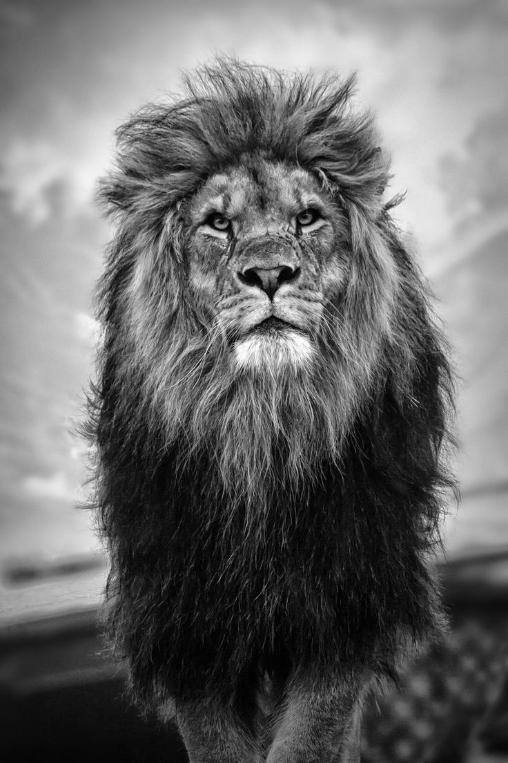 HD Wallpaper iPhone King Lion