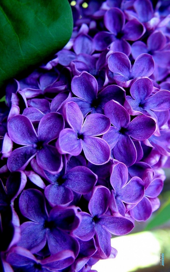 Purple Lilac Flower Wallpaper iPhone