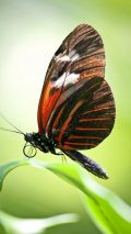 Butterfly Pictures Wallpaper For iPhone